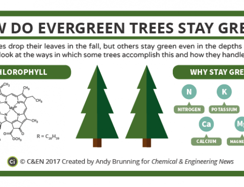 How Do Evergreen Trees Stay Green? – In C&EN