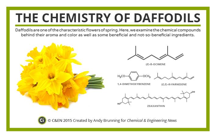 C&EN Daffodils