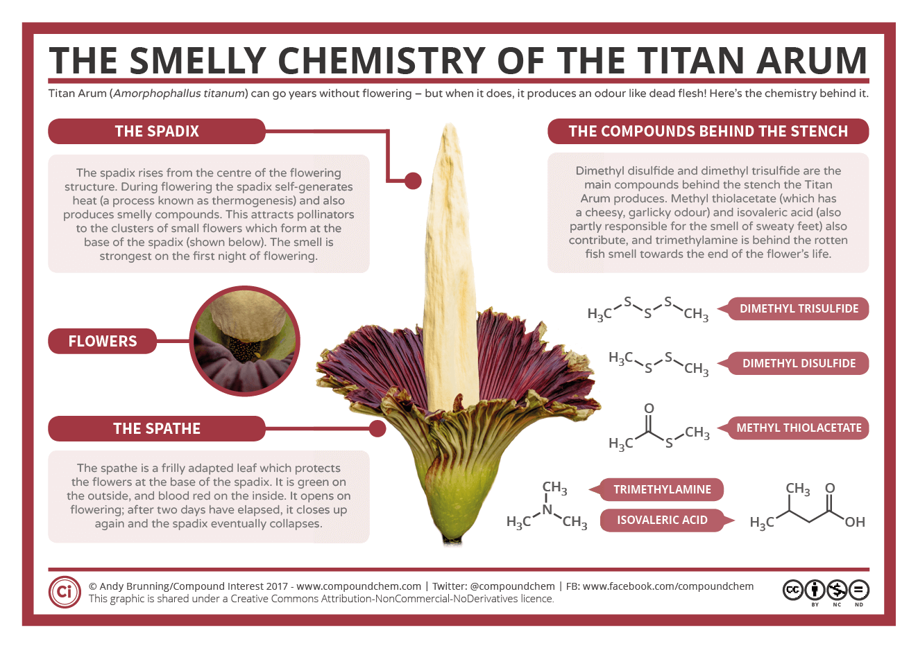 Corpse flower diagram product wiring diagrams the smelly chemistry of the titan arum corpse flower compound rh compoundchem com hibiscus diagram labeled diagram of a corpse flower izmirmasajfo