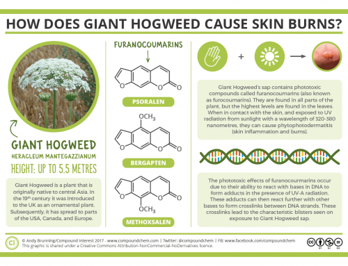 The chemistry of Giant Hogweed and how it causes skin burns