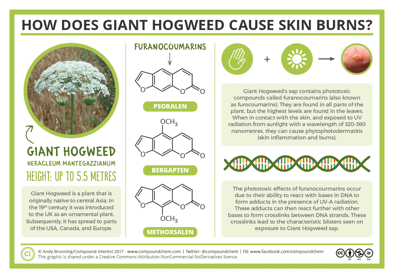 giant hogweed skin burns chemistry