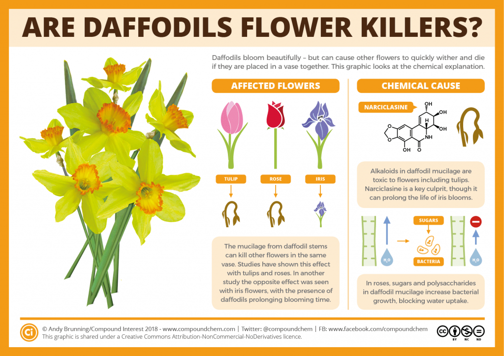 Daffodils – do they kill other flowers?