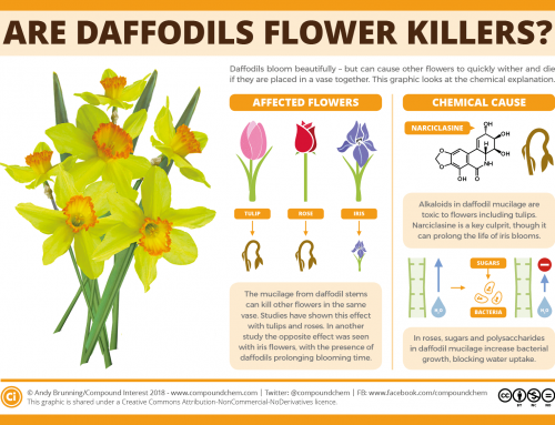 Do daffodils kill other flowers in vases?