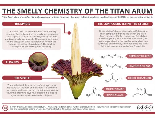 The Smelly Chemistry of the Titan Arum 'Corpse Flower'